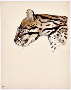 Isabel Cooper's Margay Tigrina Vigens Head (photo by Martin Parsekian, Wildlife Conservation Society, 1922)